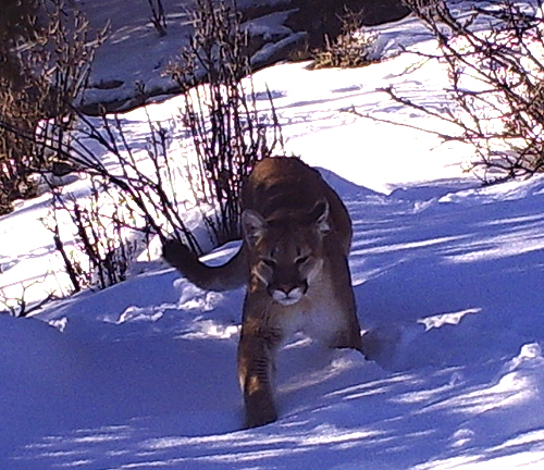 Scott Calderwood Reacts To Mountain Lion Alert, Pay
