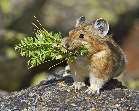 Pikas  Cute and Climat...