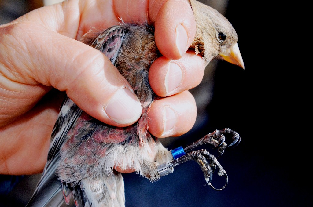 High Country Hikers: Help Save the Rosy-Finch   Pagosa Springs Journal